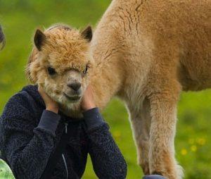 Image of Alpaca photobombing