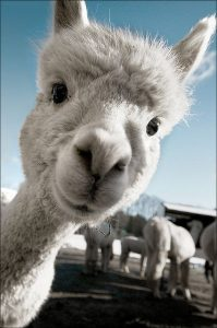 Image of white alpaca