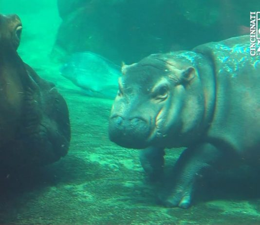 Image of baby hippo photobombs family picture