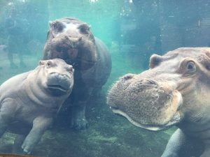 Image of Baby Hippo Photobombs