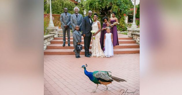 Image of peacock photobomb in a happy couple in indiana
