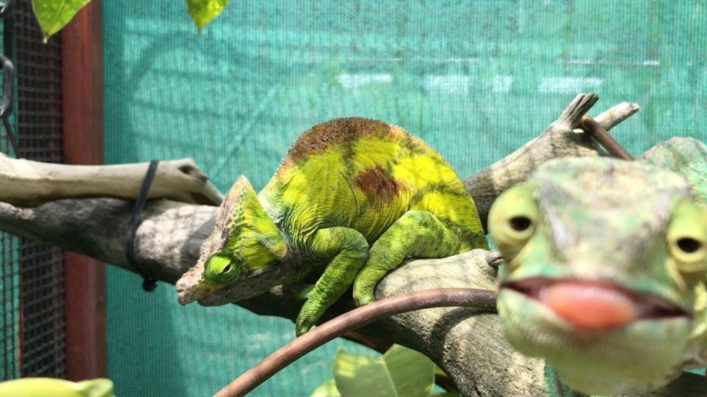 image of Chameleon Photobombs Her Friend with her Tongue Out